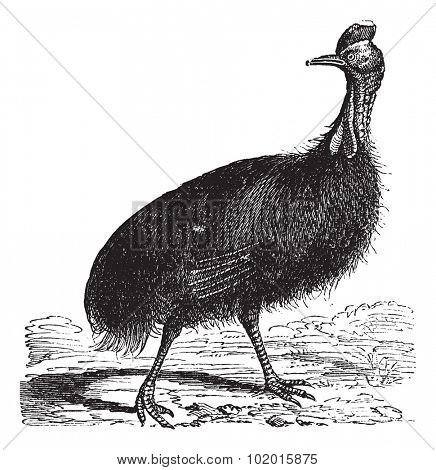 Casuarius galeatus or cassowary vintage engraving. Old engraved illustration of Casuarius galeatus.