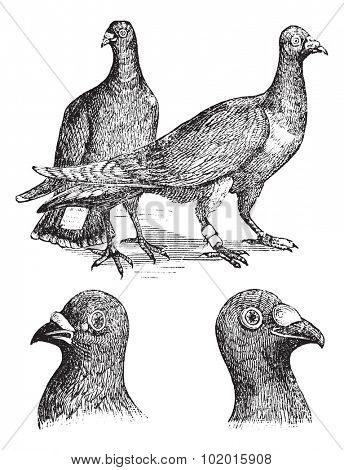 Belgian carriers- Liege or Antwerp or horning pigeon vintage engraving. Old engraved illustration of Belgian pigeons.