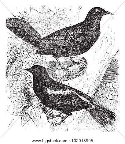 Bobolink also known as  Dolichonyx oryzivorusvintage engraving. Two bobolink birds on a branch vintage engraved illustration