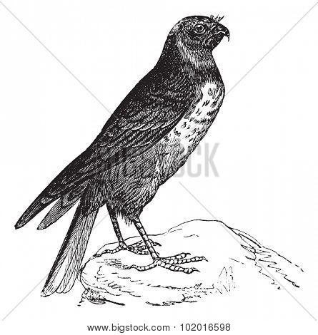 Hen Harrier also known as Circus cyaneus, bird, vintage engraved illustration of Hen Harrier, bird. Trousset encyclopedia