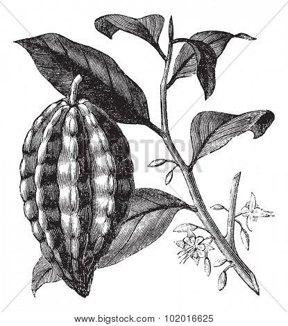 Cacao tree, cocoa tree or Theobroma cacao, leaves, fruit and branch vintage engraving. Old engraved illustration of a close-up of a cacao fruit, isolated against a white background.