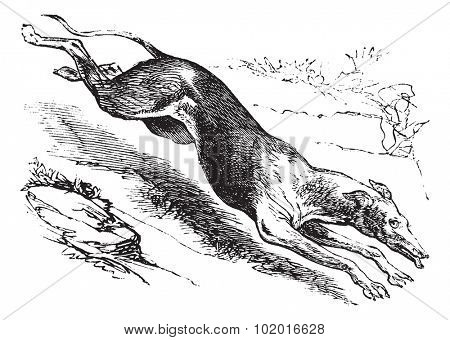 English Greyhound or Canis lupus familiaris, vintage engraving. Old engraved illustration of an English Greyhound. Trousset encyclopedia.