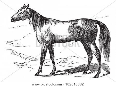 Arabian Horse or Arab Horse or Equus ferus caballus, vintage engraving. Old engraved illustration of Arabian Horse. Trousset encyclopedia.