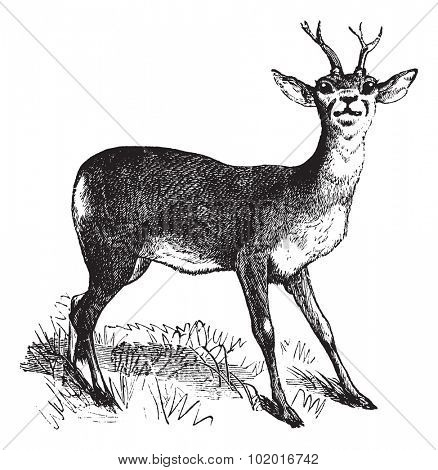 Roe Deer or Chevreuil or Capreolus capreolus, vintage engraving. Old engraved illustration of a Roe Deer. Trousset encyclopedia.