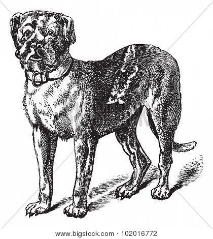Dogue or Dogue de Bordeaux or Bordeaux Mastiff or French Mastiff or Bordeauxdog or Canis lupus familiaris, vintage engraving. Old engraved illustration of Dogue. Trousset encyclopedia.