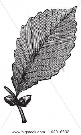 Chestnut Oak or Rock Oak or Quercus prinus, vintage engraving. Old engraved illustration of Chestnut Oak showing leaf and acorns. Trousset encyclopedia.