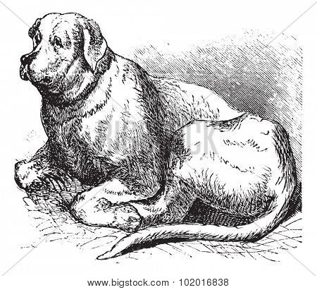 Saint Bernard or Canis lupus familiaris, vintage engraving. Old engraved illustration of a Saint Bernard.