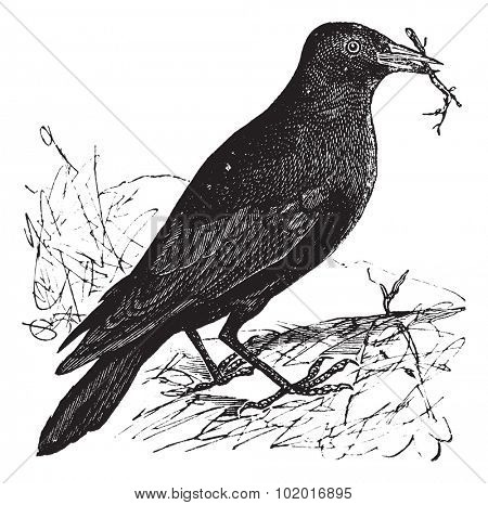 Jackdaw or Corvus monedula, vintage engraving. Old engraved illustration of a Jackdaw. Trousset Encyclopedia