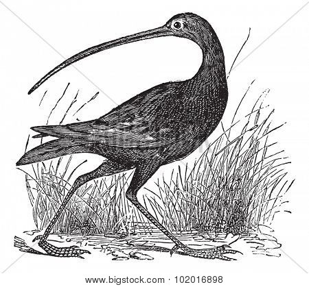 Slender-billed Curlew or Numenius tenuirostris, vintage engraving. Old engraved illustration of a Slender-billed Curlew. Trousset Encyclopedia