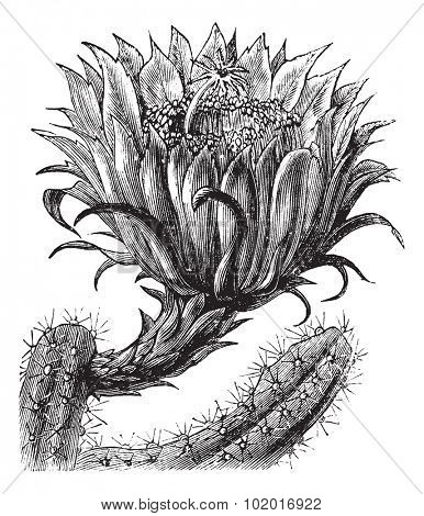 Nightblooming Cereus or Queen of the Night or Large-flowered Cactus or Sweet-Scented Cactus or Vanilla Cactus or Selenicereus grandiflorus, vintage engraving. Trousset Encyclopedia