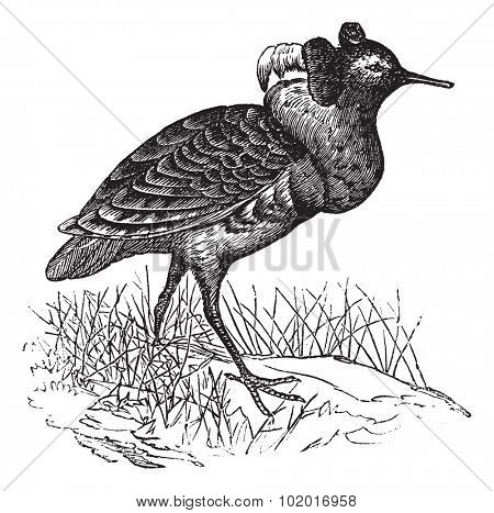 Ruff or Philomachus pugnax, vintage engraving. Old engraved illustration of a Ruff. Trousset Encyclopedia