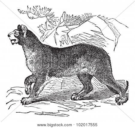 Cougar or Puma or Panther or Mountain Lion or Puma concolor, vintage engraving. Old engraved illustration of a Cougar. Trousset Encyclopedia