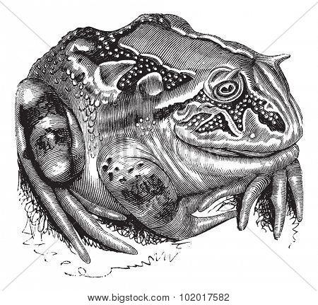 Surinam Horned Frog or Amazonian Horned Frog or Ceratophrys cornuta, vintage engraving. Old engraved illustration of a Surinam Horned Frog. Trousset Encyclopedia