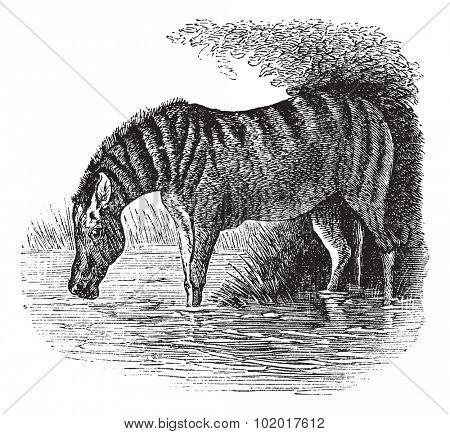Donkey or Equus asinus, vintage engraving. Old engraved illustration of a Donkey. Trousset Encyclopedia