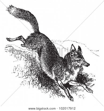Golden jackal or Canis aureus vintage engraving. Old engraved illustration of alert canis aureus. Trousset encyclopedia.