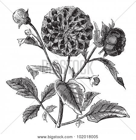 Dahlia or Dahlia sp., vintage engraving. Old engraved illustration of a Dahlia plant showing flowers. Trousset Encyclopedia
