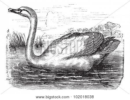 Mute Swan or Cygnus olor, vintage engraving. Old engraved illustration of a Mute Swan. Trousset Encyclopediav