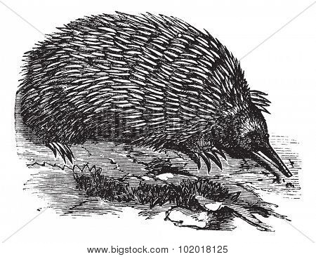 Echidna or Spiny Anteater or Zaglossus sp. or Tachyglossus sp., vintage engraving. Old engraved illustration of an Echidna. Trousset Encyclopedia