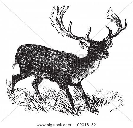 Fallow Deer or Dama dama, vintage engraving. Old engraved illustration of a Fallow Deer. Trousset Encyclopedia