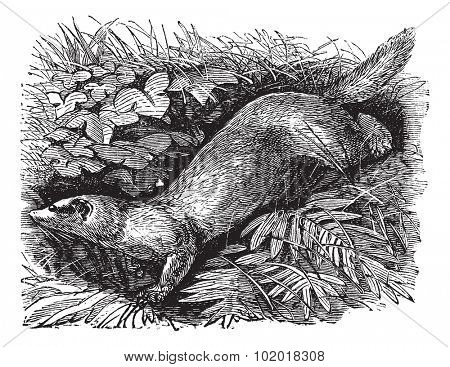 Ferret or Mustela putorius furo, vintage engraving. Old engraved illustration of Ferret, running in the meadow. Trousset Encyclopedia