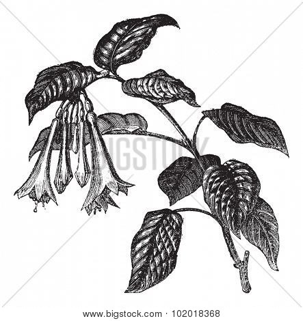 Fuchsia fulgens, vintage engraving. Old engraved illustration of Fuchsia fulgens, leaves and flowers isolated on a white background. Trousset Encyclopedia