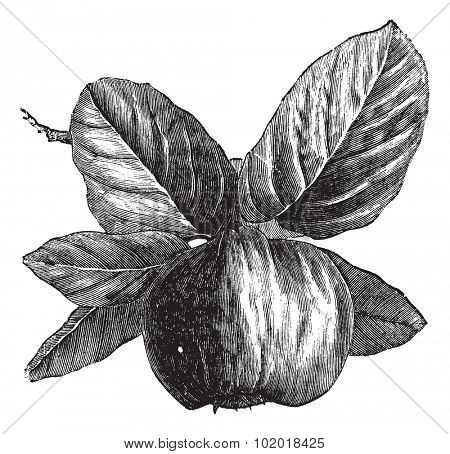 Quince or Cydonia oblonga, vintage engraving. Old engraved illustration of a Quince, isolated against a white background.