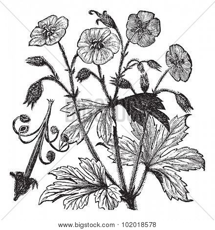 Spotted Geranium or Geranium maculatum or Wood Geranium or Wild Geranium or Spotted Cranesbill or Wild Cranesbill or Alum Root or Alum Bloom or Old Maid's Nightcap, vintage engraving. Isolated