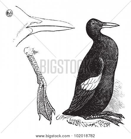Guillemots white (summer plumage) vintage engraving. Old engraved illustration of guillemots white. Trousset Encyclopedia