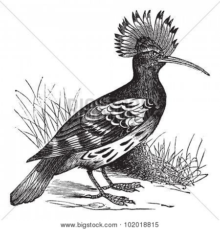 Hoopoe or Upupa epops, vintage engraving. Old engraved illustration of Hoopoe in the meadow. Trousset Encyclopedia