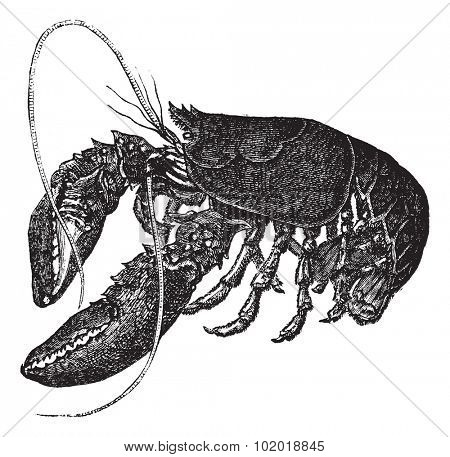 Common lobster or Homarus gammarus or European lobster, vintage engraving. Old engraved illustration of Common lobster, isolated on a white background. Trousset Encyclopedia