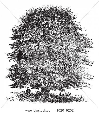 Beech tree vintage engraving. Old engraved illustration of beech tree on white. Trousset Encyclopedia