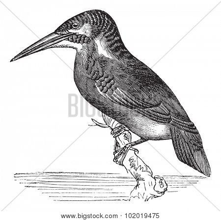 Common Kingfisher or Alcedo ispida, vintage engraving. Old engraved illustration of Common Kingfisher waiting on a branch.  Trousset encyclopedia (1886 - 1891).