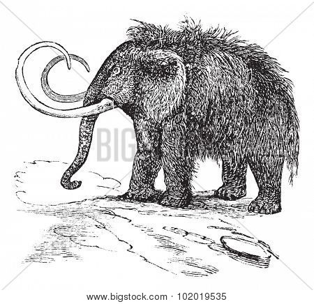 Woolly mammoth or Mammuthus primigenius or Tundra mammoth or Elephas primigenius, vintage engraving. Old engraved illustration of Woolly mammoth. Trousset encyclopedia (1886 - 1891).