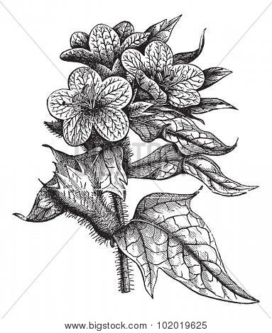 Henbane or Hyoscyamus niger or Stinking nightshade or Black henbane, vintage engraving. Old engraved illustration of Henbane isolated on a white background. Trousset encyclopedia (1886 - 1891)