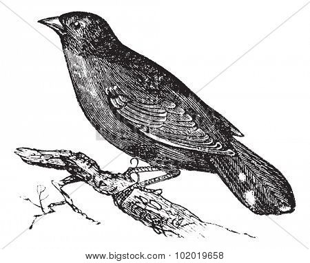 Guianan Red-Cotinga or Phoenicircus carnifex, vintage engraving. Old engraved illustration of Guianan Red-Cotinga waiting on a branch. Trousset encyclopedia (1886 - 1891)