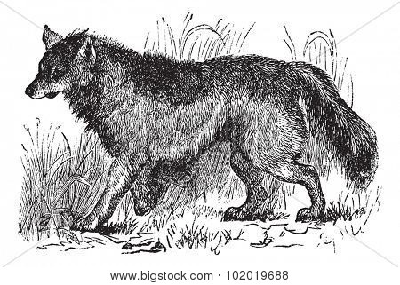 Coyote or Canis latrans or American jackal or Prairie wolf, vintage engraving. Old engraved illustration of Coyote walking in the meadow. Trousset encyclopedia (1886 - 1891)