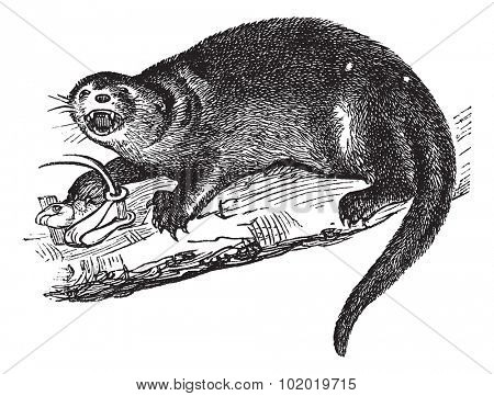 North American river otter, Lontra canadensis, American otter, Lutra canadensis, Northern river otter, Canadian otter or land otter, vintage engraving. Trousset encyclopedia (1886 - 1891)
