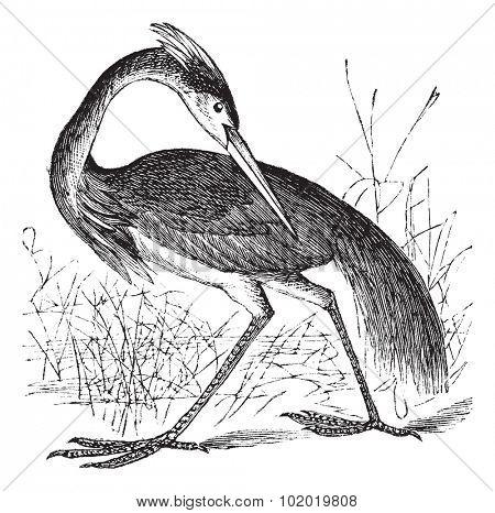 Louisiana Heron (Ardea ludoviciana) or Tricolored Heron (Egretta tricolor) vintage engraving. Old engraved illustration of beautiful Louisiana Heron. Trousset encyclopedia (1886 - 1891)