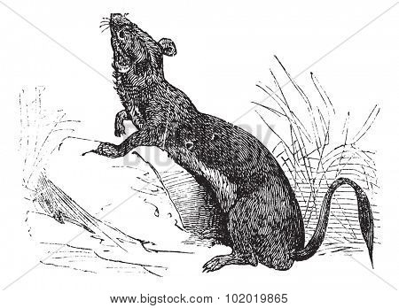 Stoat (Mustela erminea) or Ermine or short-tailed weasel in summer pelt vintage engraving. Old engraved illustration of Ermine in summer pelt. Trousset encyclopedia (1886 - 1891