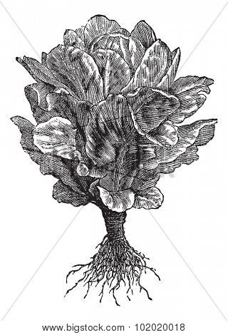 Romaine or Cos lettuce (Lactuca sativa) vintage engraving. Old engraved illustration of Romaine lettuce isolated on white.  Trousset encyclopedia (1886 - 1891).