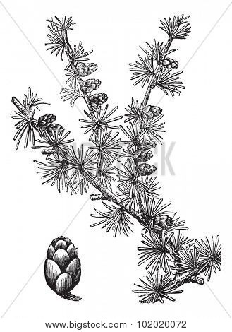 Tamarack (Larix Americana) or Hackmatack or American Larch, vintage engraved illustration. Trousset encyclopedia (1886 - 1891).