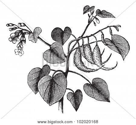 Ram's horn or Proboscidea louisianica or Martynia proboscidea or Devil's claw or Devil's horn or Unicorn plant, vintage engraving. Isolated on a white background. Trousset encyclopedia (1886 - 1891).