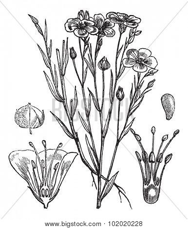 Common flax or Linseed or Linum usitatissimum vintage engraved illustration. Trousset encyclopedia (1886 - 1891).
