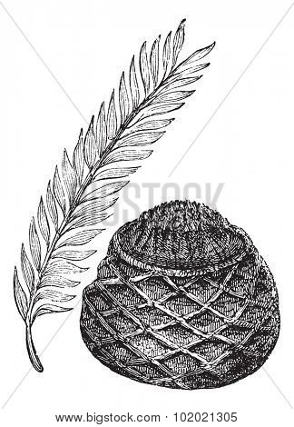 Sago Palm or King Sago Palm or Cycas revoluta, vintage engraving. Old engraved illustration of a Sago Palm showing leaf (left) and female cone (right). Trousset encyclopedia (1886 - 1891).