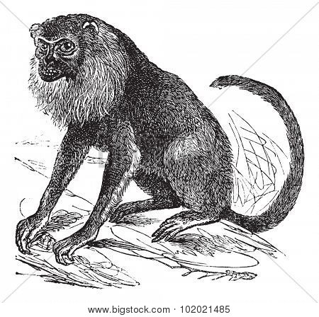 Ursine Howler or Alouatta arctoidea, vintage engraved illustration. Trousset encyclopedia (1886 - 1891).