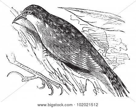Eurasian treecreeper or Common treecreeper (Certhia familiaris) or British Isles vintage engraving. Old engraved illustration of Eurasian treecreeper. Trousset encyclopedia (1886 - 1891).