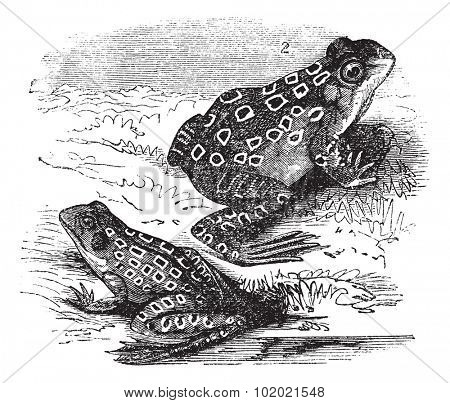 1.Shad frog (Rana halecina) 2. Pickerel frog (Rana palustris) vintage engraving. Old engraved illustration of Shad frog and Pickerel frog. Trousset encyclopedia (1886 - 1891).