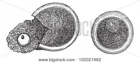 Embryology, vintage engraved illustration. Trousset encyclopedia (1886 - 1891). Trousset encyclopedia (1886 - 1891).