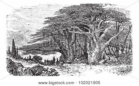 Lebanese cedar or Cedrus libani vintage engraving. Old engraved illustration of Lebanese cedar tree with a group of man standing beneath it. Trousset encyclopedia (1886 - 1891).