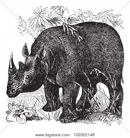 Black Rhinoceros or Diceros bicornis or Hook-lipped Rhinoceros, vintage engraving. Old engraved illustration of Black Rhinoceros in the meadow. Trousset encyclopedia (1886 - 1891).